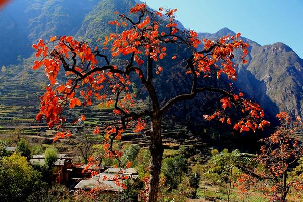 宕昌县两河口乡的柿子熟了